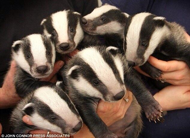 baby badgers